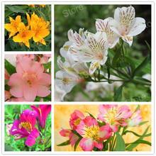 100pcs/bag mix colors Lily seeds Peruvian Lily flower seeds Alstroemeria seeds bonsai plant beautiful flower for home garden(China)
