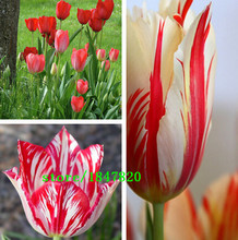 GGG 100pcs / bag 25 varieties of tulip petals tulip seeds potted indoor and outdoor potted plants purify the air mixing colors