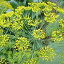 France dill seed / Fennel / vanilla seeds / French essential spices can stomach chills --100seed