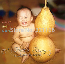 3 Giant Bottle Gourd Seeds ---interesting and attractive Ornamental Practical, easy growing ,productive
