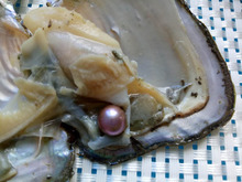 Wholesale 10pcs Vacuum-packed Oysters with 6-7mm Round Akoya Pearls white pink purple black