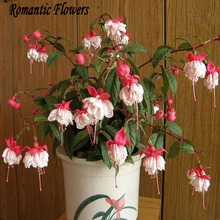50 Particle/bag Fuchsias Seeds, Potted Flowers, Diy Planting Flowers, Bell Flower, Lantern Begonia