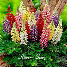 Free shipping Colorful Rainbow Tutti Frutti Lupine Ornamental Garden  Perennial Flower 25 Seeds 99% Germination Hardy Bonsai