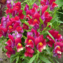 W 1000Pcs/Pack Common Snapdragon Flower Seeds Potted Plants Antirrhinum Perennial Flower Seed Home Garden