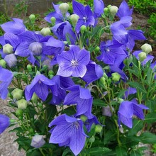 Health Medicine Seed - Seed ] [large Flower Bellflower Treat Colds Cough -100seed(China)