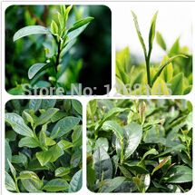 Buy 20pcs/lot Chinese Green Tea Tree seeds Ornamental edible bonsai plant DIY home garden free for $1.79 in AliExpress store
