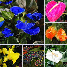 100 pcs Anthurium Seeds Rare Flower seeds Balcony Potted Plant + rose seeds as gifts, Bonsai for DIY Home Garden