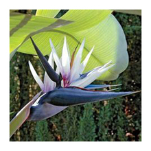 120PCS black and white seeds Strelitzia flowers potted bonsai garden terrace