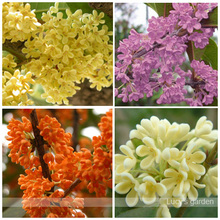 15pcs Courtyard fragrant flower seeds, Perennial osmanthus fragrans seeds, seeds mixed color flower sementes garden