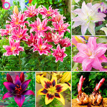 Buy 2Pcs / Bag Lily Bulbs (Not Seeds) Perennial Flowers Bonsai Plants Garden Decoration Aromatic Plants Indoor & Outdoor Planting for $1.59 in AliExpress store