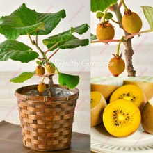 200 pcs Kiwi seeds Miniature Dwarf tree seeds Flesh Fruit seeds Succulent plants easy to grow plant for home garden(China)