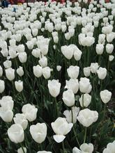 Pure love. White tulip bulbs. 10PC real bonsai flower seeds (not tulip seeds)