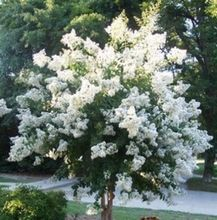 White Dwarf Crape Myrtle SEEDS - Longest Blooming Tree seeds