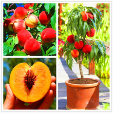 10pcs/bag,peach tree seeds,easy to grow,sweet peach tree bonsai plant for garden .(China)