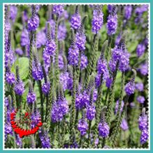 Blossoming beautiful flourish 30 Purple Canada Verbena Flower Seeds Beautify Their Homes A224