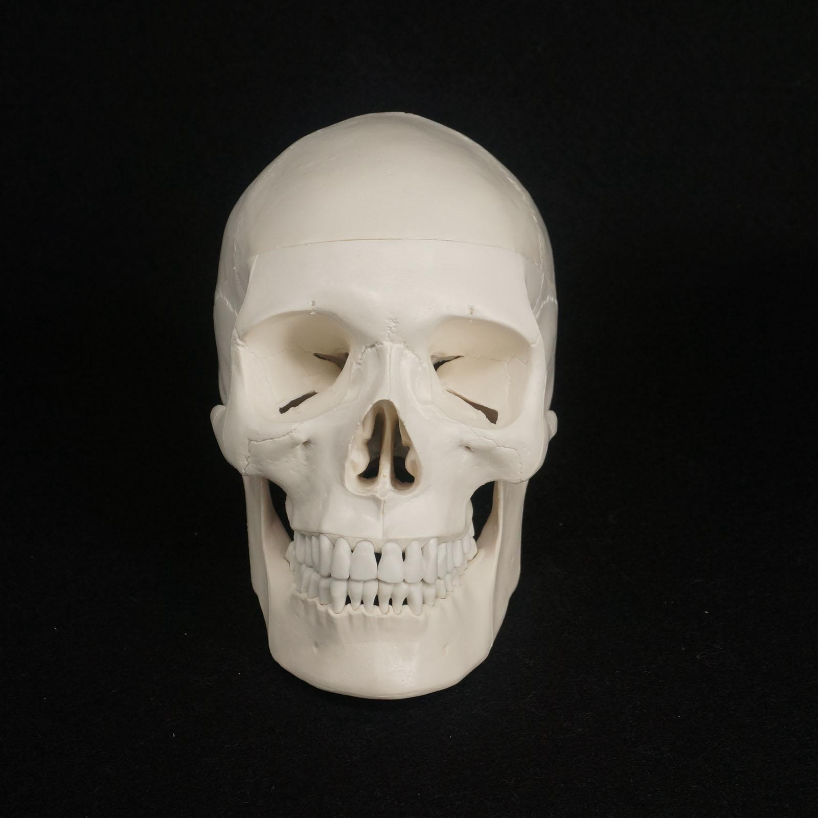 Natural Life Size Human Skull Model High Simulation Anatomical Flexible For Medical Art painting Teaching<br>