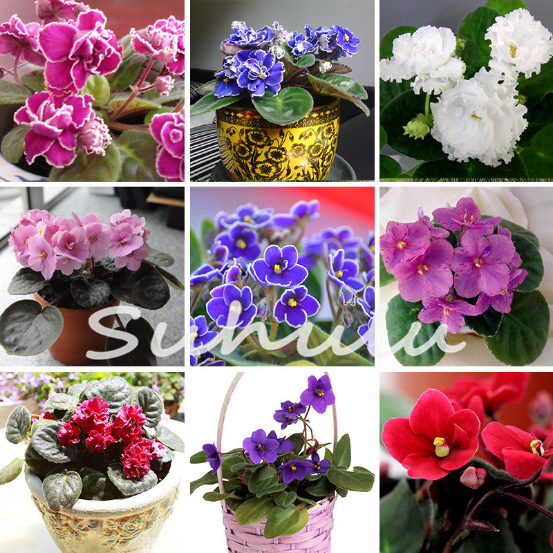 20 PCS a Variety of Colors Violet Seeds Garden Plants(Red Blue Purple White)Violet Flowers Perennial Herb Matthiola Incana Seed(China (Mainland))