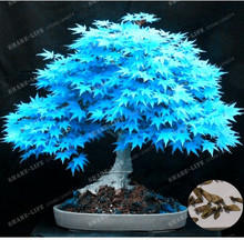 Rare Blue Maple Seeds Bonsai Tree Plants Pot Suit for DIY Home Garden Japanese Maple Seeds 20 Pcs Balcony Plants Free Shipping