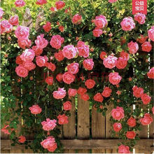 Rose Seed Climbing roses Rare Colored Roses You Can Not miss the Balcony Potted Roses Series of Flower Seeds 50 pcs d58