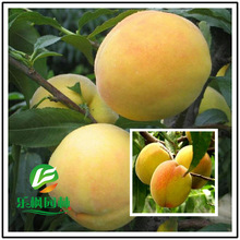 Peach Direct peach seed Fairview fresh peach seed of new varieties of sweet yellow peach seed 5 seeds / pack