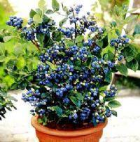 Blueberry seed Fruit seeds Potted blueberry 40seeds(China)