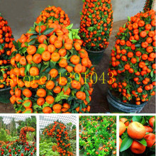 20 orange semillas bonsai fruta orange tree semillas para jardín plantación enano washington navel