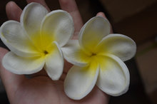 Natural Real Touch Artificial Not Silk White-Yellow frangipani Plumerias flower heads for cake decoration and wedding bouquets