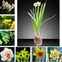 50 pcs Hot Sale Narcissus Seeds Potted SeedS Narcissus Flower Seeds Variety Complete the Budding Rate 99%