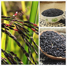 Big Promotion:1000 Black Forbidden Rice Seeds, Freshest,Real & Rare Cereal Seeds,Good for Health