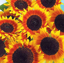 New Cosy Japan Sunflower Helianthus Annuus Flower Seed Low Price 1 Pack 20 Seeds(China)