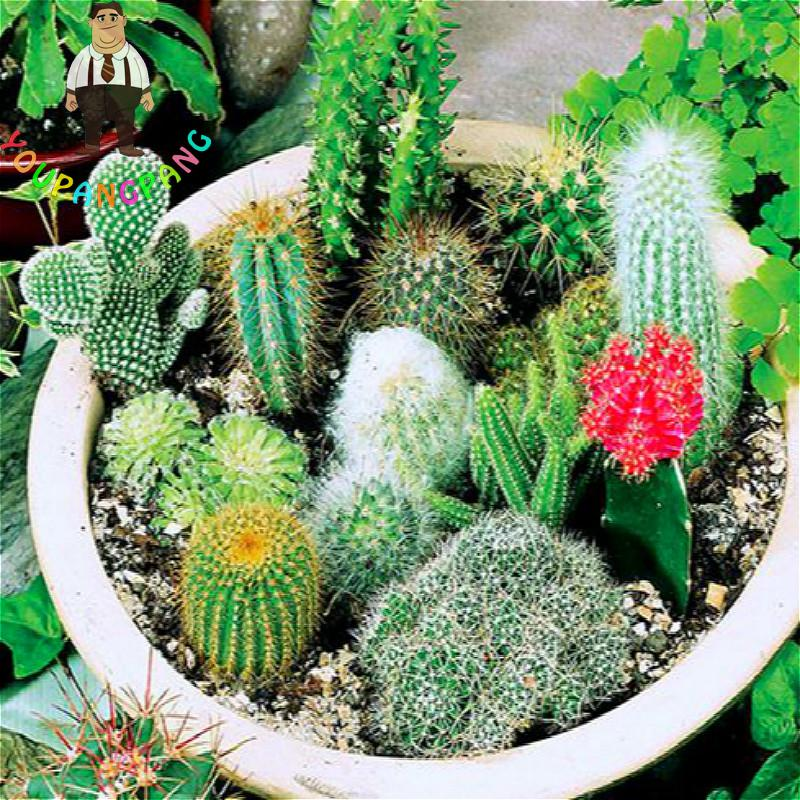 100 Pcs Mixed Cactus Seeds Indoor Multifarious Ornamental Plants Seed Rare Succulents Flower Seeds Can Purify The Air For Jardin(China (Mainland))