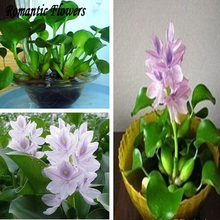 100 Particle / bag Water Hyacinth Seeds , And Pot Seeds, Flower Seeds ( Mixed Colors )