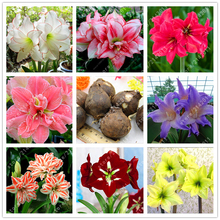 True Amaryllis bulbs,Hippeastrum bulbs bonsai flower bulbs Amarilis Rizomas Bulbos Barbados Lily bonsai garden planta -2 bulb