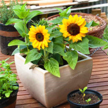 20 Pcs French Dwarf Sunflower Seeds Easy Growing Organic Helianthus Annuus Seeds Ornamental Flower Seeds Plant for Gardening(China)