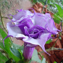 Purple Corrugated Double Morning Glory 10 Seeds, Heirloom Garden Annual Climbing Flowers #TS046