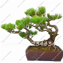 30seeds office desk Potted Flowers Cemetery pine seeds Balcony Bonsai Plant For Garden & Home Four Seasons planting,easy to grow(China)