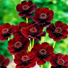 100pcs/bag Rare Chocolate Cosmos Flower Seeds-blooms All Summer Long And Has Rich Scent Like Chocolate Diy Home Garden Flower