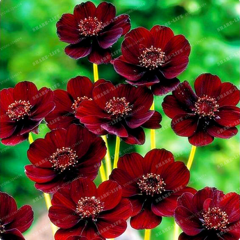 100pcs/bag Rare Chocolate Cosmos Flower Seeds-blooms All Summer Long And Has Rich Scent Like Chocolate Diy Home Garden Flower(China (Mainland))