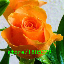 100 Seeds Rose Flower Seeds Very Nice Bright Colors Common Pleasant Fragrant Smell Orange Rose Seeds(China)