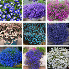 20 seeds/pack lobelia seeds, Family Garden indoor bonsai flower seeds, Creeper, Ground Cover Chlorophytum garden landscaping(China)