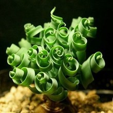 20seeds/bag Creative spiral seed was a rare flower magic spring grass can dance, free shipping watch bonsai