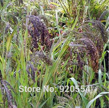 Imported bulbs, 10pcs/lot Panic Grass (Panicum violaceum) seed beautiful flower bonsai plant DIY home garden free shipping(China)