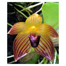Australia featured Cypripedium seeds balcony potted bonsai flower seeds flower seeds garden pocket slipper orchid 100PCS