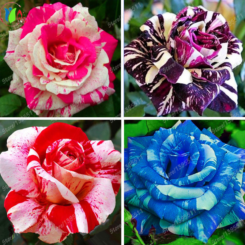 Online buy wholesale rose bushes from china rose bushes for Buy black and blue roses