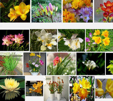 Hot Selling Variety Complete Freesia Seeds Potted Seed Freesia Flower Seeds 120PCS