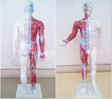 human Body acupuncture points Acupuncture Model Muscle anatomy 85cm free shipping
