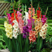 Rare Cut Gladiolus Seeds Flower Seeds Perennial Potted Plants Indoor Aerobic Gladiolus Flower Seeds 120 PCS