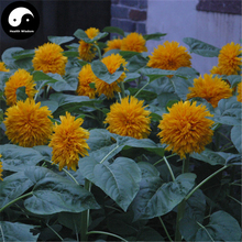 Buy Helianthus Annuus Seeds 60pcs Plant Sunflower Garden Grow Helianthus