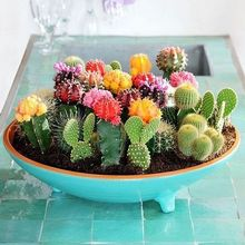 Multifarious Ornamental Plants 100 Mixed Cactus Seeds attractive impressive