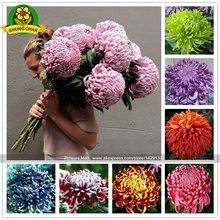 Chinese mum plant Chrysanthemum Seeds 200PCS Rare Perennial Flower Seeds Indoor Bonsai Plants For Home & Garden mixed color(China)